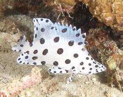 BD-080330-Lembeh-3302383-Cromileptes-altivelis-(Valenciennes.-1828)-[Humpback-grouper.-Leopardabborre].jpg